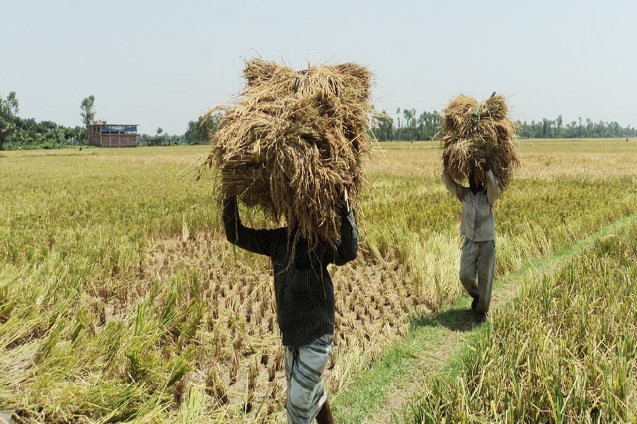 Govt to buy extra Boro paddy for coronavirus aid