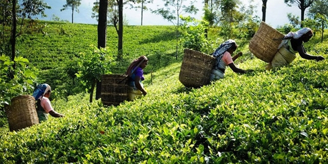 Wages of tea workers up by 20pc