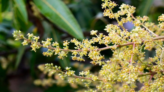 Mango flowering starts early in Rajshahi