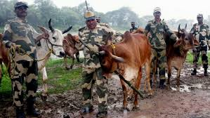 BSF involved in cattle smuggling: DW report