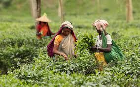 Tipu for increasing tea export after meeting local demand