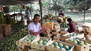 Online mango business in Rajshahi fetches around Tk 9cr