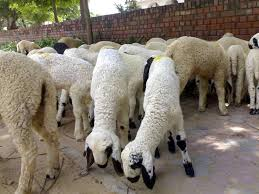 Commercial sheep farming stressed to cut rural poverty