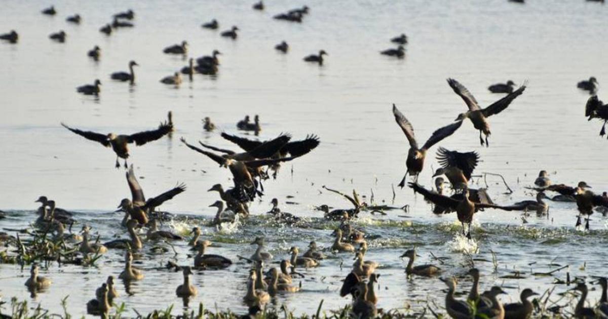 Migratory birds battle poachers in Khulna