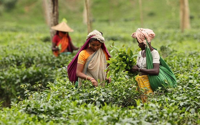 Sylhet tea industry hamstrung by investment crunch