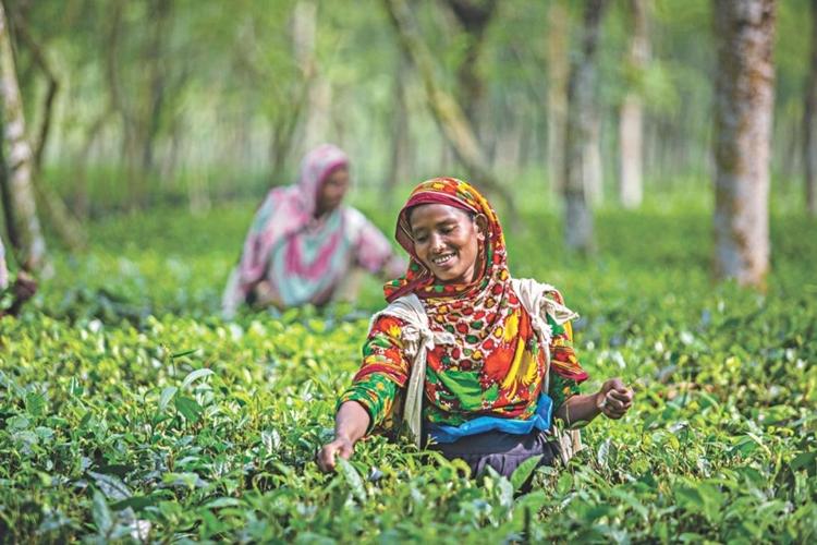 Govt to set up tea plant in Panchagar