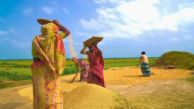 Boro rice output hits new record