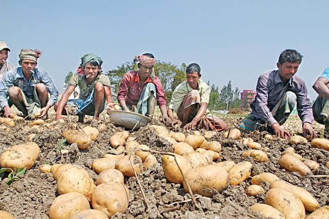 2 lakh tonnes of potato to be exported to Malaysia from Rangpur