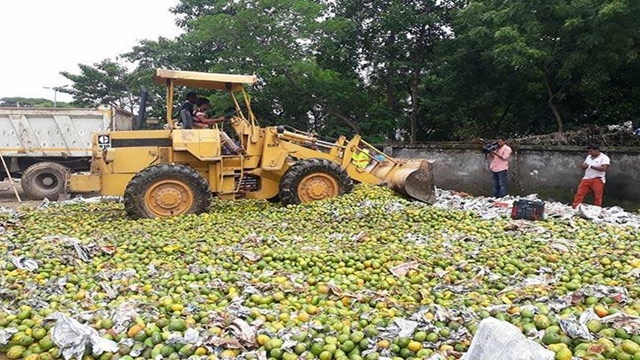 1,100 maunds of mango ripened with chemicals destroyed