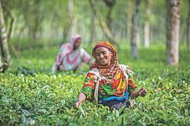 Northern Bangladesh sees booming tea sector